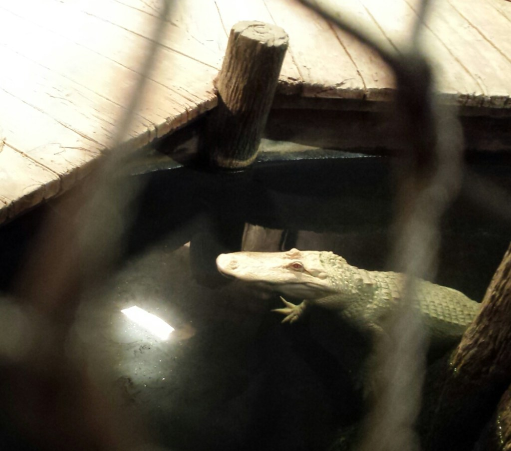 "Newport Aquarium's albino alligator. It's all white and floating next to a ""dock"" in its enclosure."