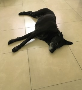 A large black lab lays on cream colored tile.