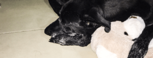 a black dog curled up next to a brown and white teddy bear. Her paw is around the bear.
