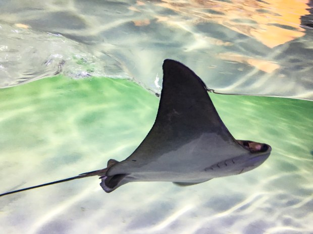 "a stingray with one ""wing"" gliding out of the water"