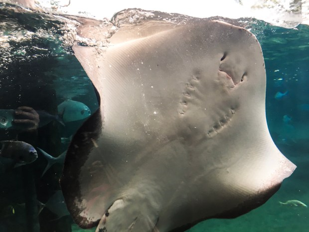 The belly side of stingray. Stingrays and turtles can be supported with ethical animal tourism.