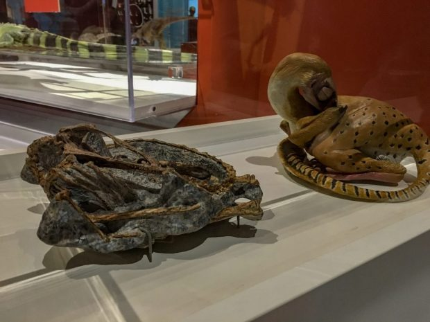 A fossible of a small dinosaur curled up. Next to it, a model of what it might've looked like when it was alive at COSI museum