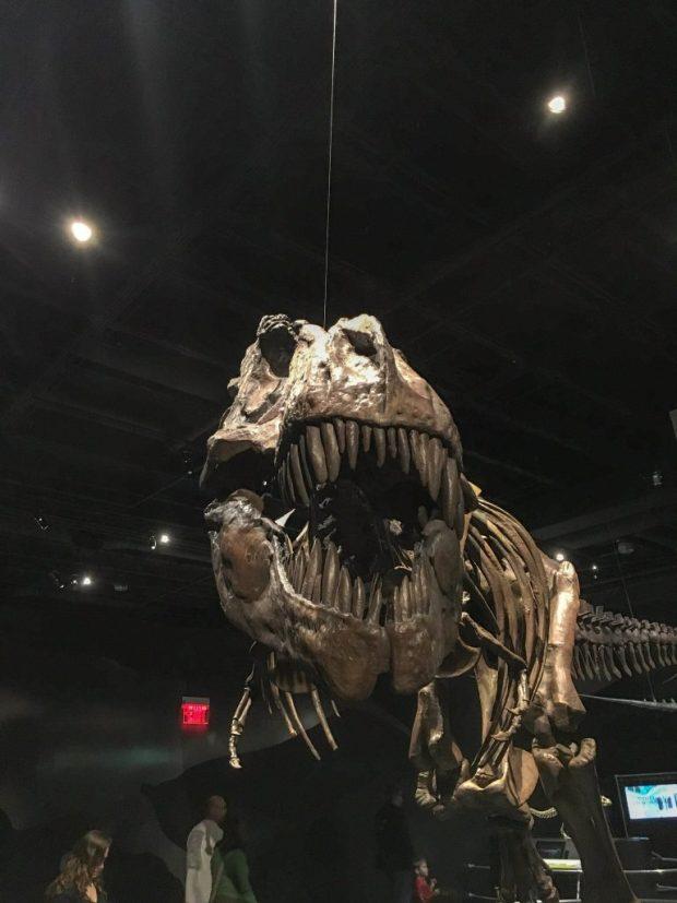 A cast of a T. Rex skeleton in the dinosaur exhibit at COSI Columbus Ohio.