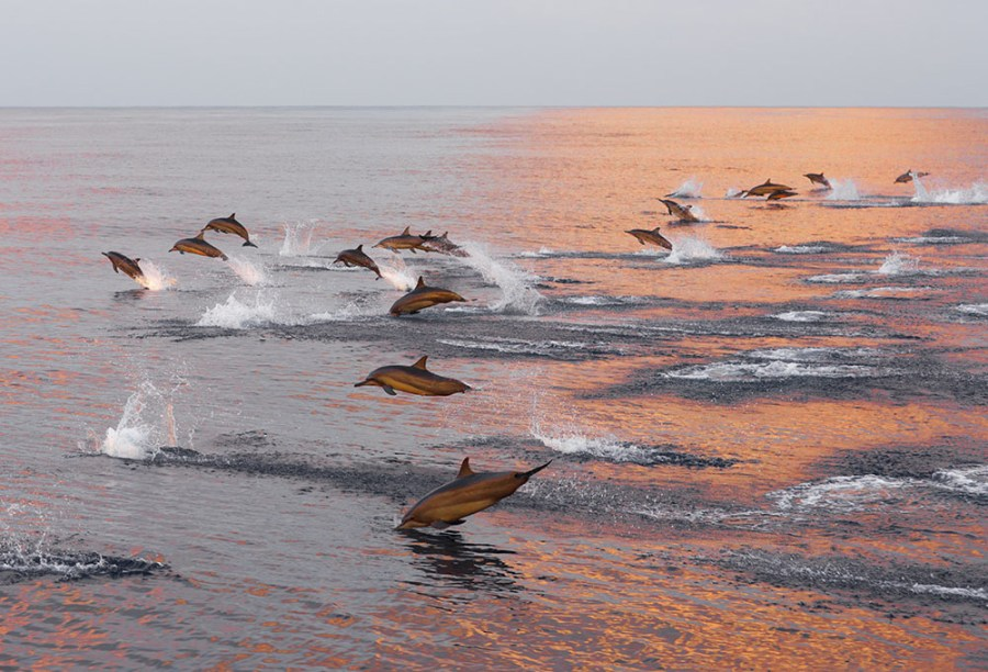 Family of dolphins in the Indian Ocean, Maldives