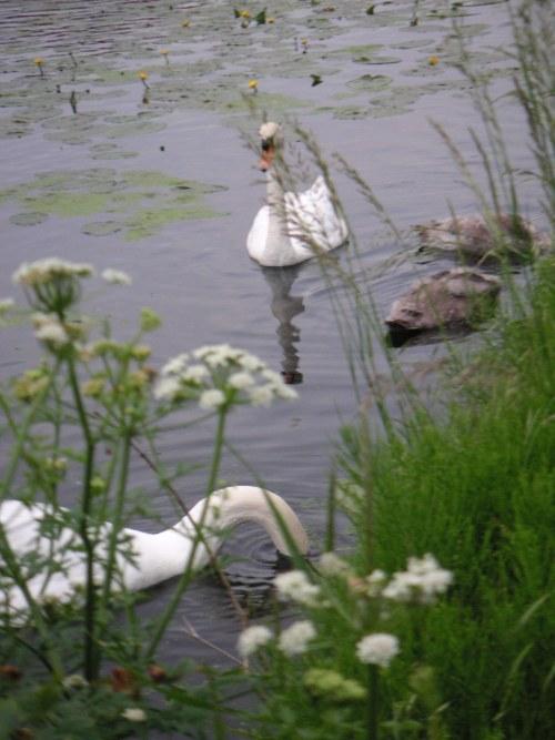 Swanshackney