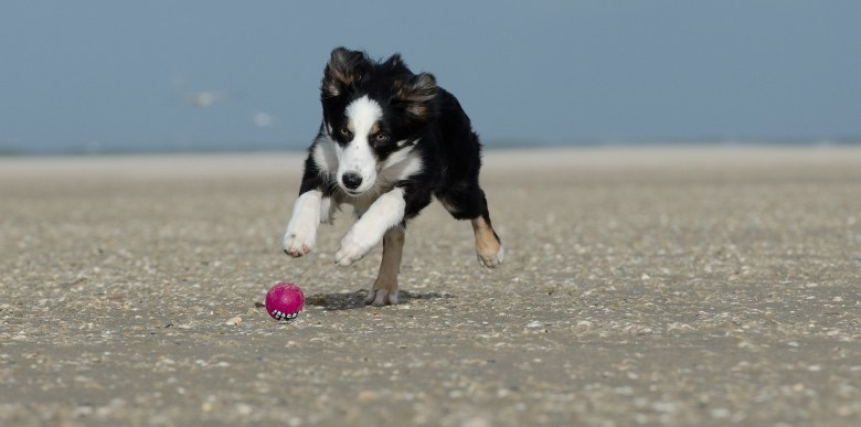 young black and white border collie running on the beach chasing a ball