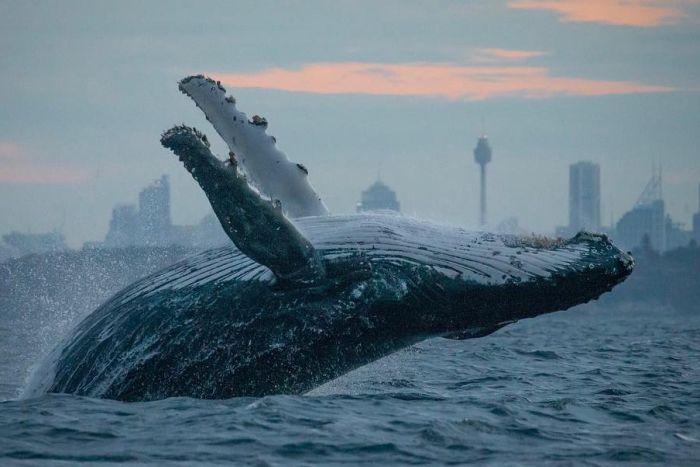الحيتان يحركون ما يقارب 103 مليون دولار مع اقتراب البتكوين من 4150$ 1