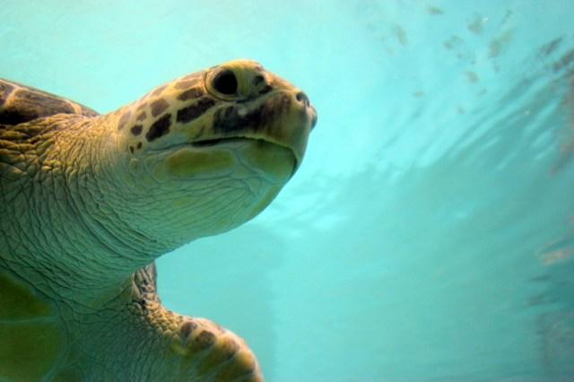 Cap d'una tortuga gegant de l'aquari del museu de l'illla