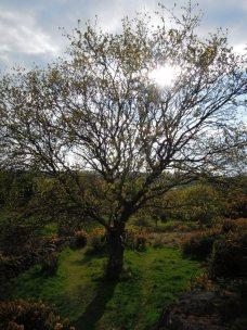 Tree near Alter Stones