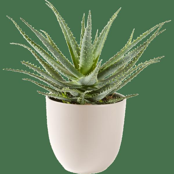 Aloe Vera vetplant inclusief pot