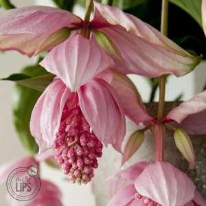 MoreLIPS® - Medinilla Pinatubo 3 knoppen in roze keramiek - hoogte