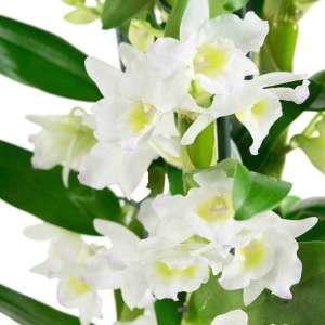 4 Dendrobium Nobile Apollon - set van 4 stuks