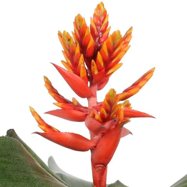 "Aechmea pepita ""Elegant Flames"""
