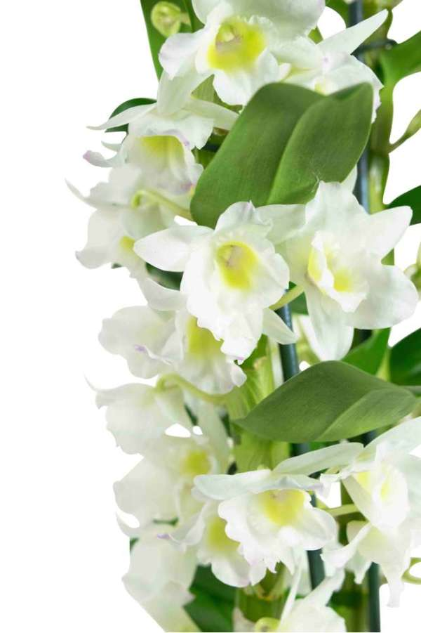 Dendrobium Nobile Apollon