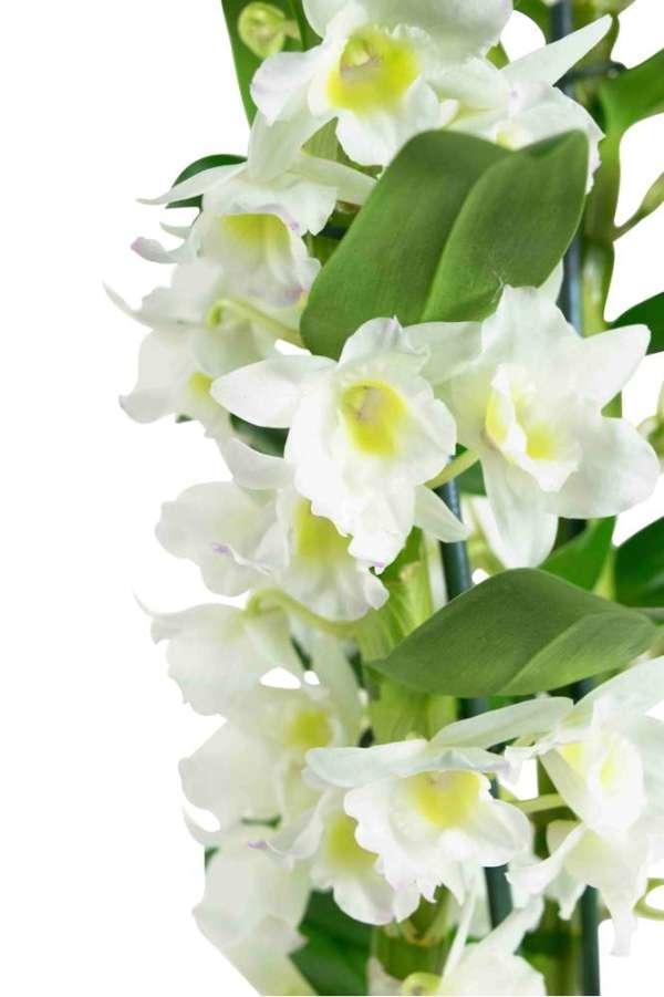 Dendrobium Nobile Apollon - set van 4 stuks