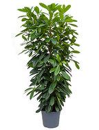 Ficus Cyathistipula 180 cm (Afrikaanse Vijgenboom)