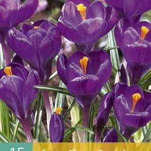 Krokus Flower Record