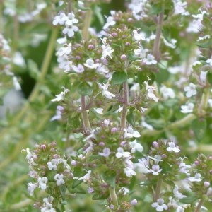 Tijm 'Albiflorus' (Thymus Praecox)