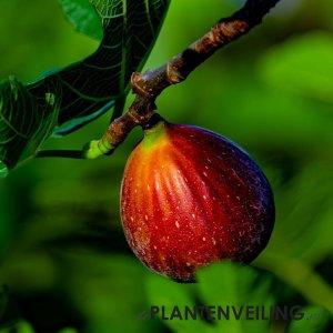 Vijgenboom (Ficus Carica) 'Bornholm' - Winterhard - 3 stuks