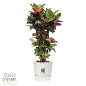 Codiaeum variegatum Croton in Elho® Greenville pot wit bestellen of bezorgen