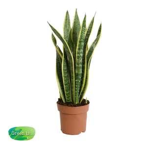 Sansevieria trifasciata - vrouwentong bestellen of bezorgen