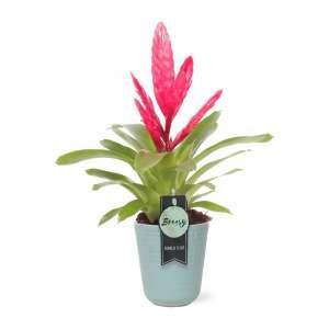 "Bromelia Vriesea Intenso Pink + pot ""Riga"" bestellen of bezorgen"