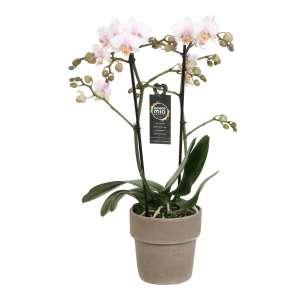 Phalaenopsis Amore Mio Amaglad in Taupe Terracotta pot bestellen of bezorgen