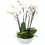 Witte Phalaenopsis in een schaal bestellen of bezorgen online