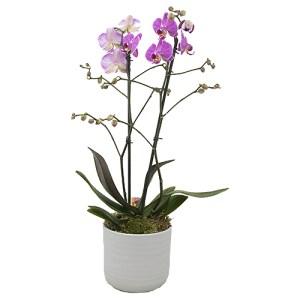 Roze Phalaenopsis in een Stenen pot bestellen of bezorgen online