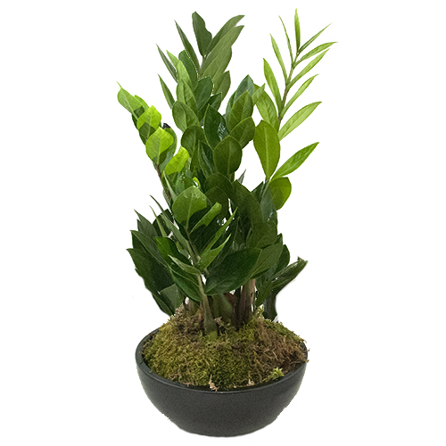 Zamioculcas Zamiifolia in schaal bestellen of bezorgen online