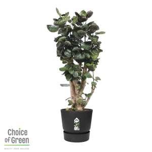 Polyscias scutellaria Fabian - Aralia - in Elho® Greenville pot zwart bestellen of bezorgen online