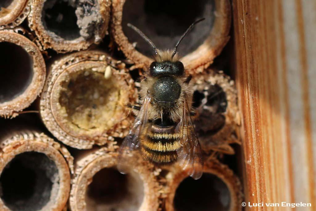 Bijenhotel met solitaire bij
