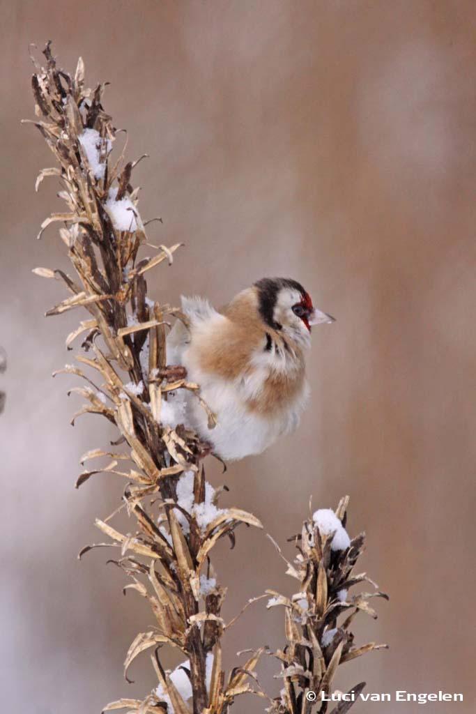 Putter in de winter op Teunisbloem