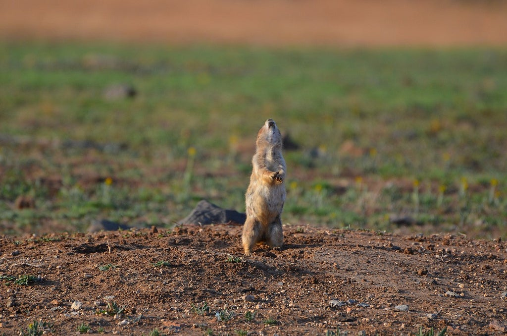 Prairie dog howling at the sky