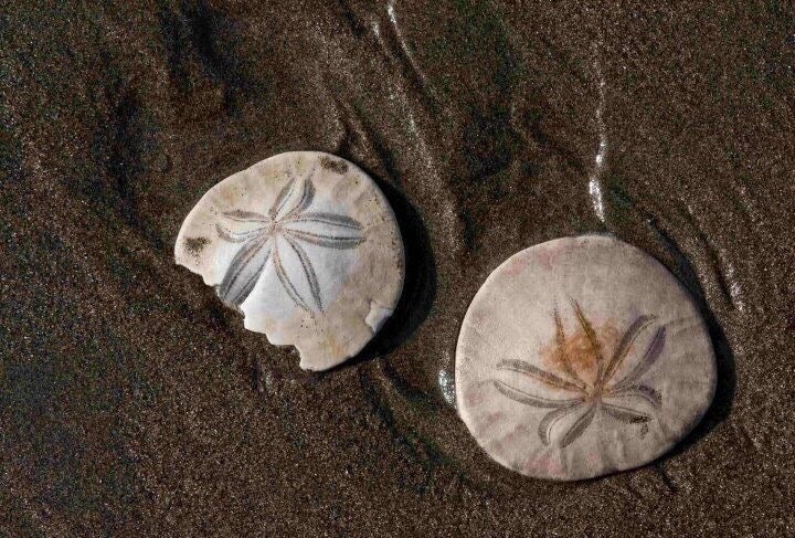 one full and one broken sand dollar on a wet beach