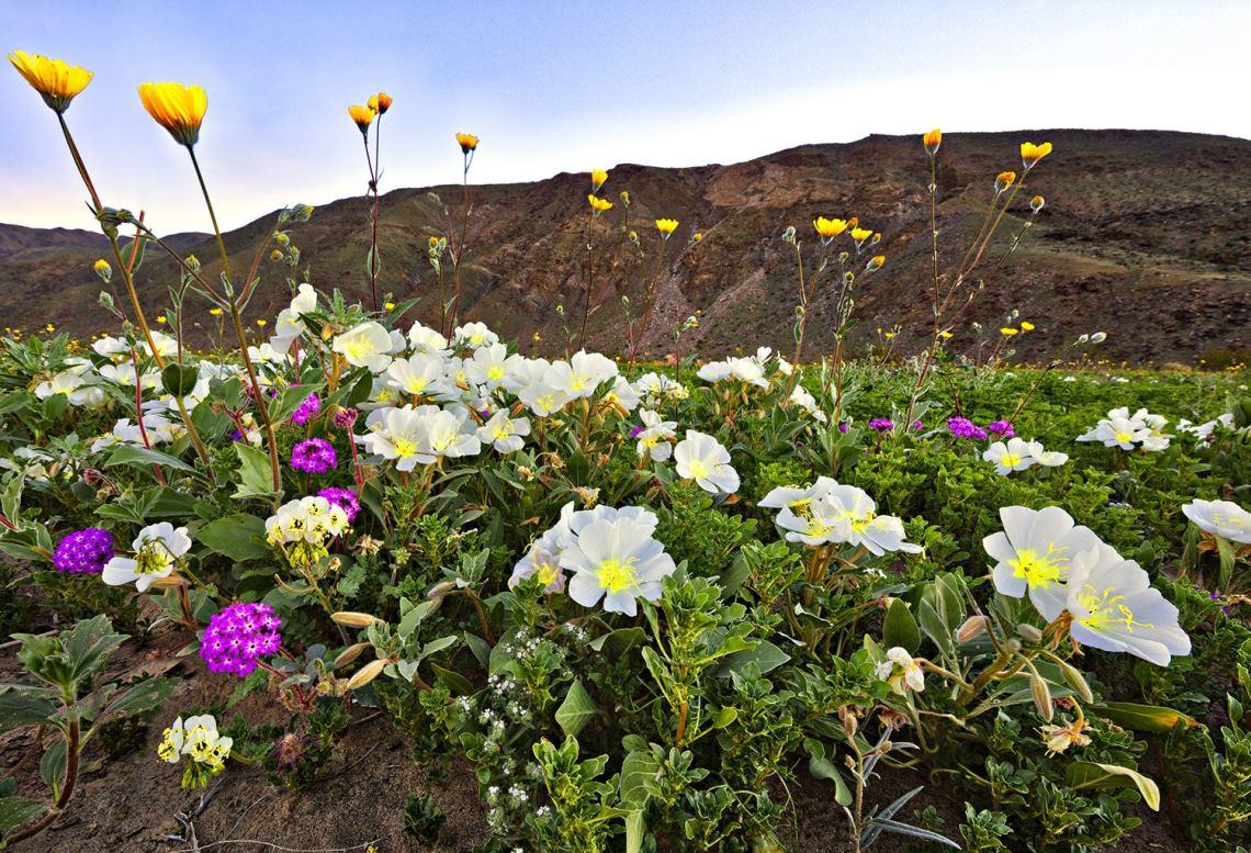 closeup of vibrant wildflowers in the anza-borrego desert