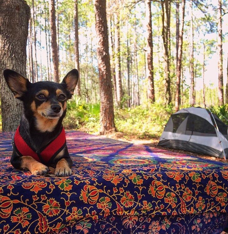 Chihuahua sitting on patterned picnic table with tent and trees in background