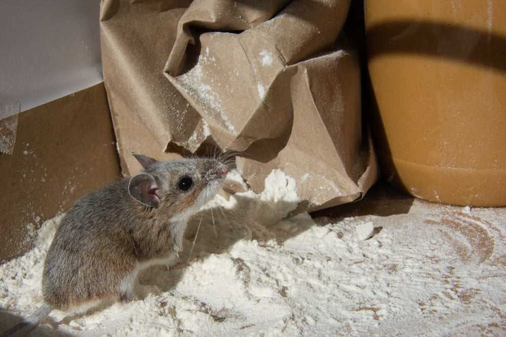 Brown mouse breaking into a bag of flour.