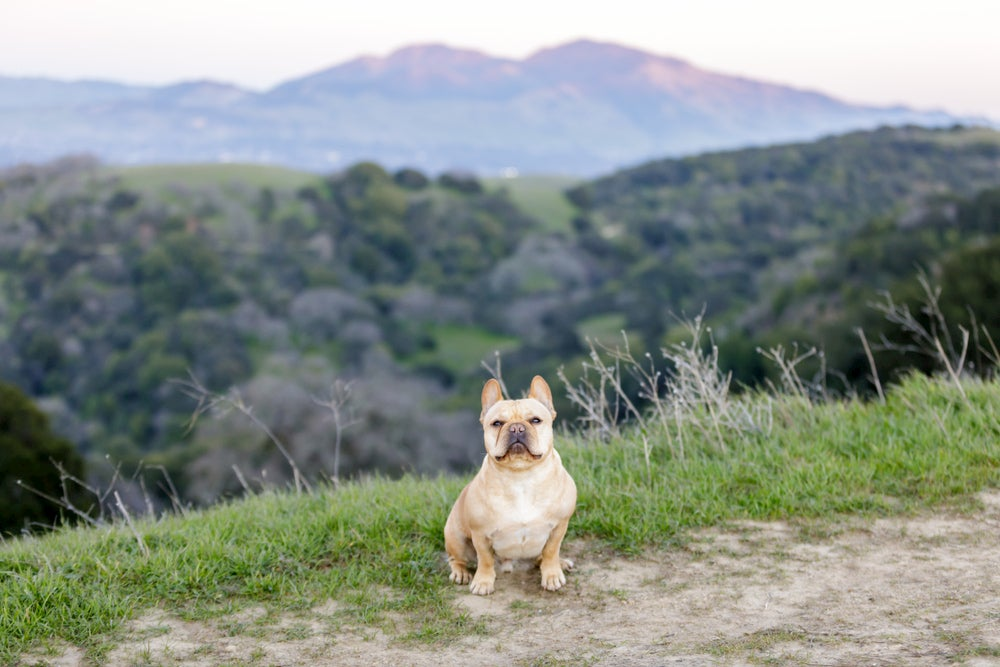 French bulldog sitting on hiking trail with mountains in background