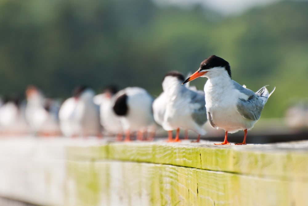 A flock of foster's terns standing on a pier.