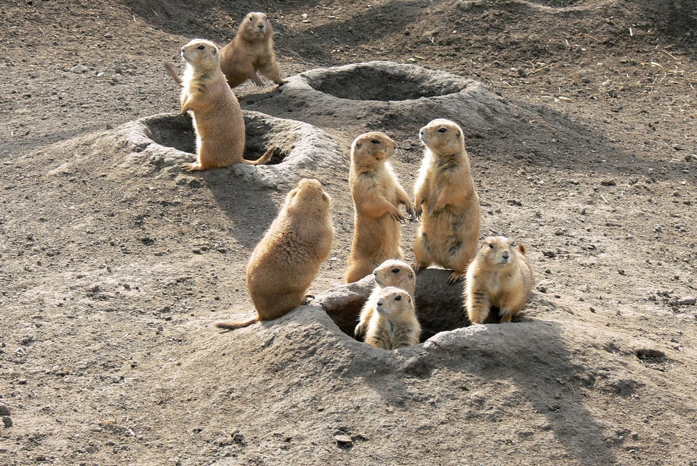 Prairie dogs standing in and around the entrances to their underground home.