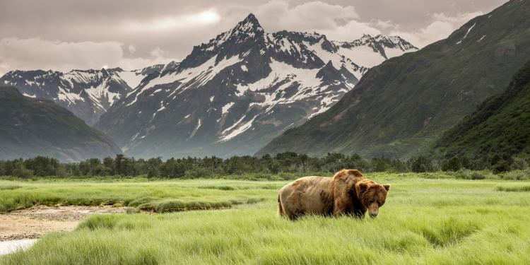 Grizzly bears in Alaskan landscape at Denali.
