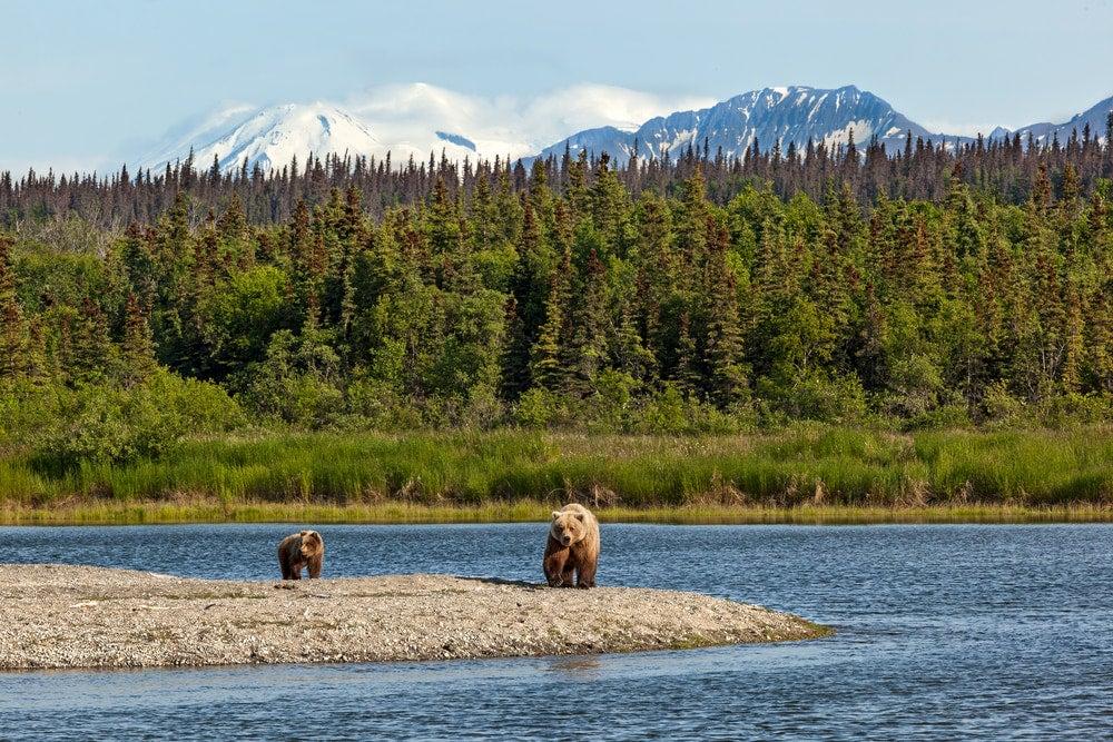 Bearas beside the river in Katmai National Park.