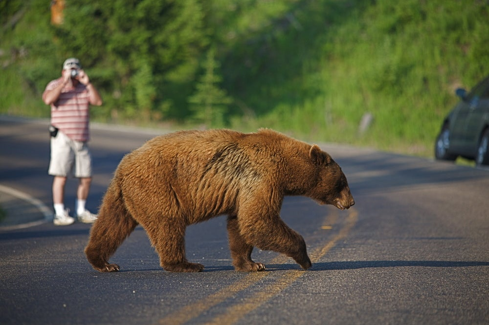 a grizzly bear crossing the road in yellowstone national park