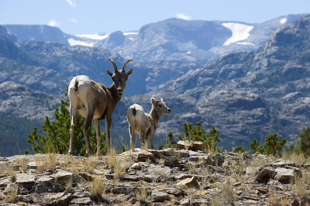 Mountain goats in the wind river range.