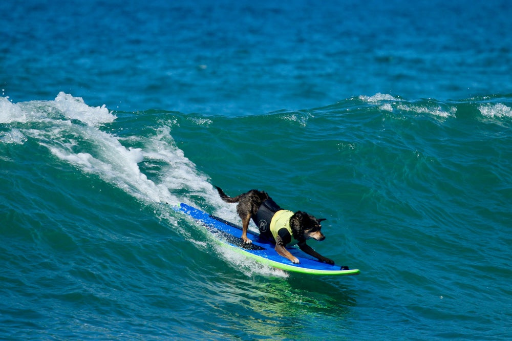 a dog surfing on a surfboard in huntington CA