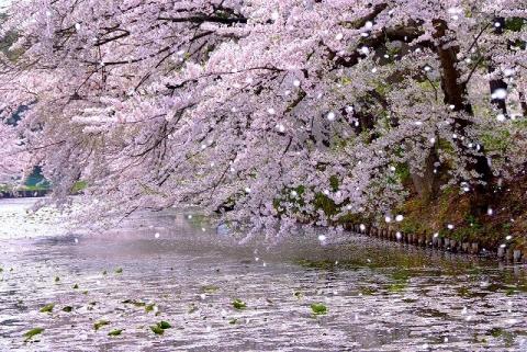 japanese-cherry-blizzard.jpg