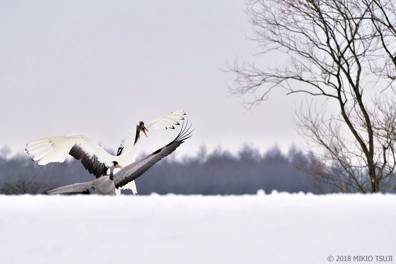 絶景探しの旅 - 0500 激しく クロヅルを威嚇するタンチョウ (北海道 鶴居村)