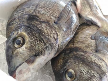 fish_kurodai6876.jpg