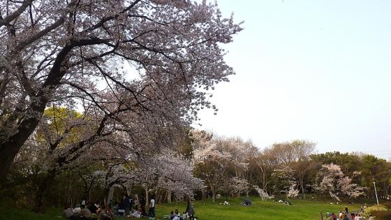 大泉緑地の桜 2019 ソメイヨシノ(双ヶ丘にて撮影)